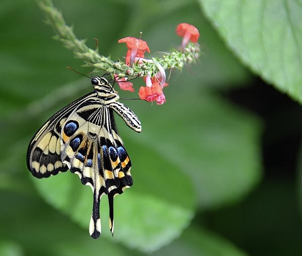 Ronda Ryan - Swallowtail3