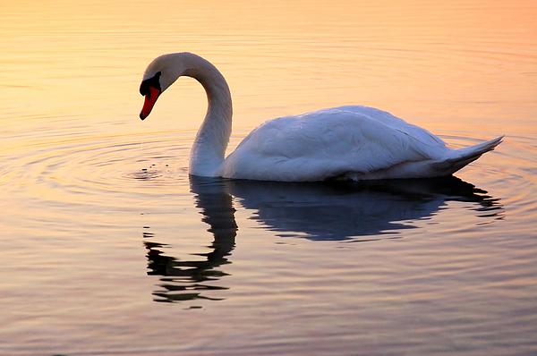 Joe  Ng - Swan Lake