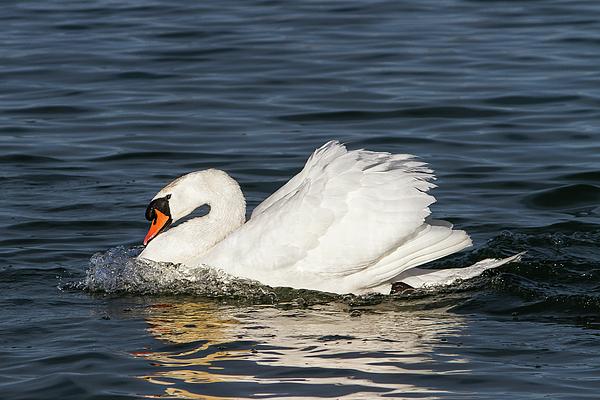 Paul MAURICE - Swan
