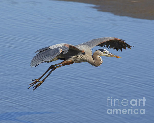 TN Fairey - Take off, Great Blue Heron, South Padre Island, Texas