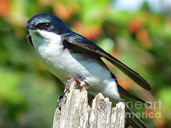 Cindy Treger - Take Off or Landing - Tree Swallow