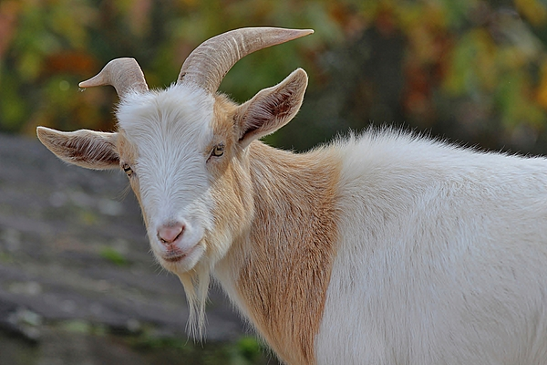 Linda Crockett - Tan and White Goat