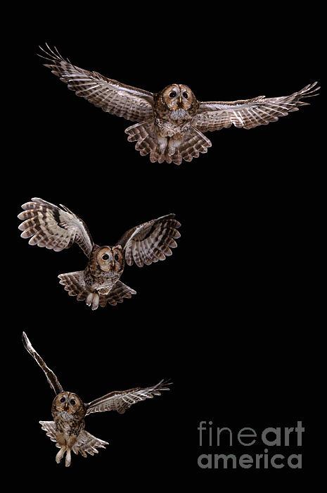 Warren Photographic - Tawny Owl flight sequence