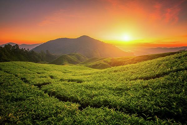 Anek Suwannaphoom - Tea farm in Cameron Highland