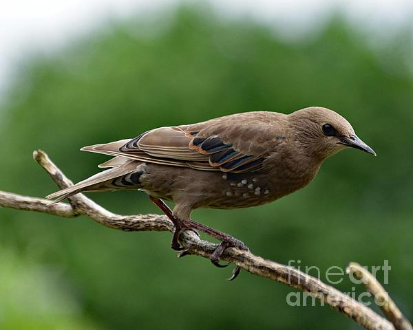 Cindy Treger - Sharing The Branch - European Starling