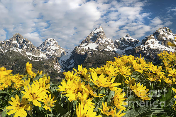 Wildlife Fine Art - Tetons give way to Summer flowers
