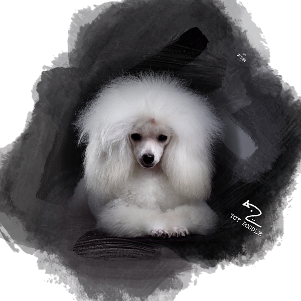 That Cute White Toy Poodle T Shirt For Sale By Mia Stedt
