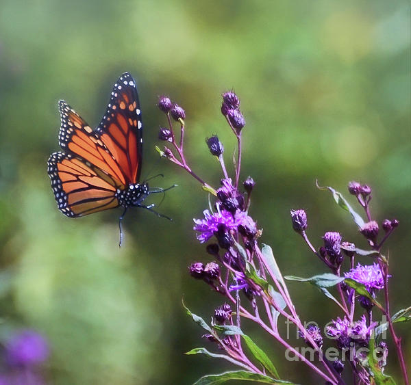the flight of monarch butterflies 2 flight of the butterflies educator guide table of contents welcome monarch butterflies – background information educational.