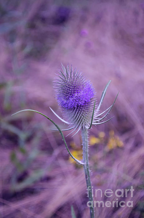 Michelle Meenawong - The Blue Softness Of A Teasel