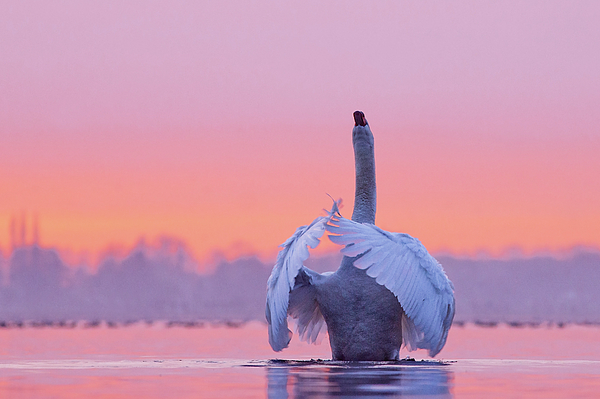 Roeselien Raimond - The Conductor - Mute Swan at Sunset
