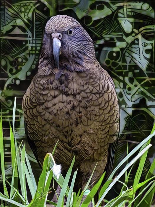 Steve Taylor - The New Zealand Kea