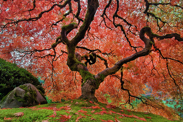 The Old Japanese Maple Tree In Autumn Greeting Card For Sale By