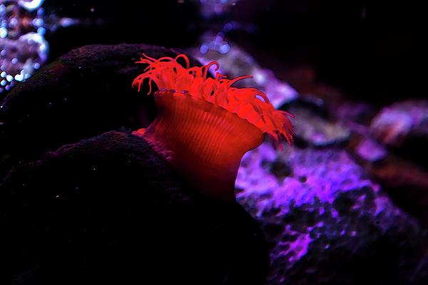 Miroslava Jurcik - The Waratah anemone of Australia