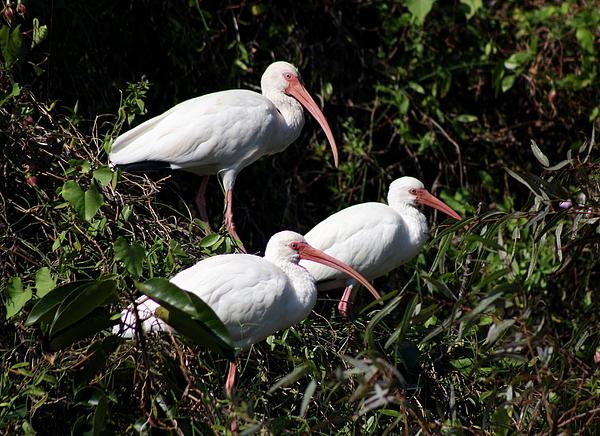 Christiane Schulze Art And Photography - Three Buddies - White Ibis