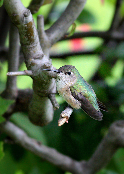 Tough Hummingbird Photograph