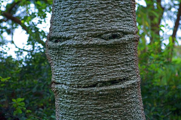 Daniel Furon - Trey the Tree   7320