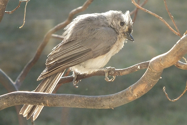 Cindy Treger - Tufted Titmouse A