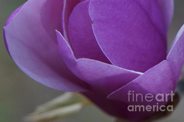 Maxine Billings - Tulip Magnolia