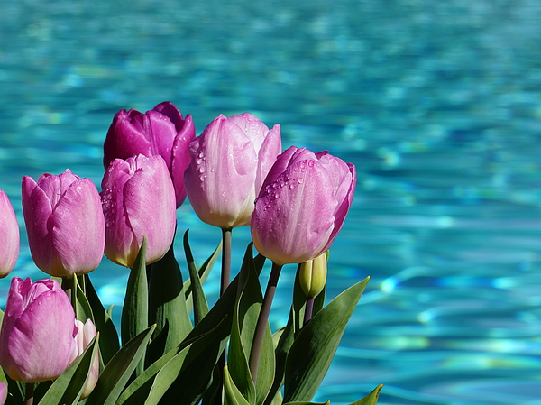 YT Photo - Tulips At Water