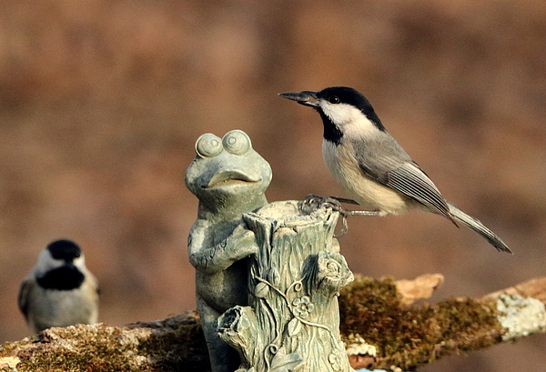 Sheila Brown - Two Black-Capped Chickadees and Frog