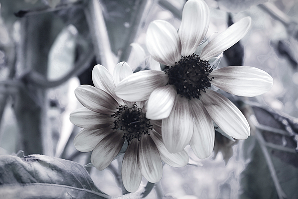Selena Wagner - Two Sunflowers in BW