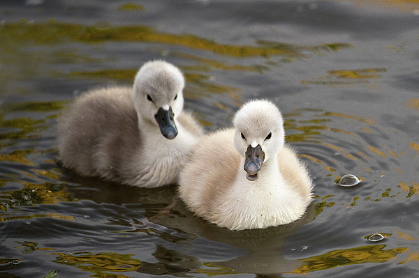 Janet Chung - Two Swan Babies