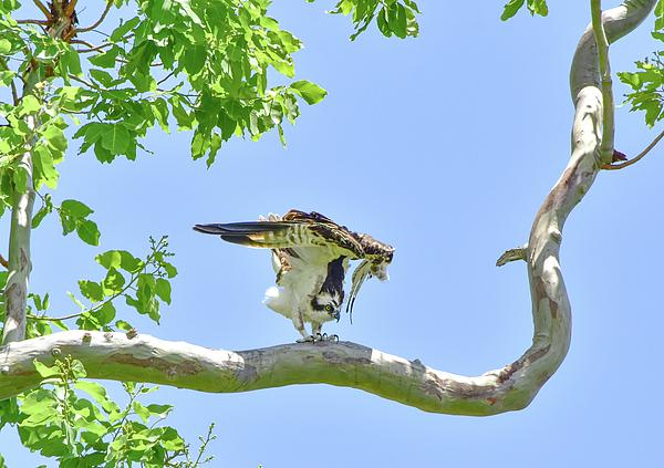 William Tasker - Unfolding Osprey