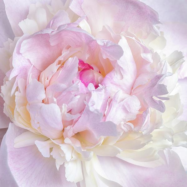 Jane Star - Vanilla-pink lace-1