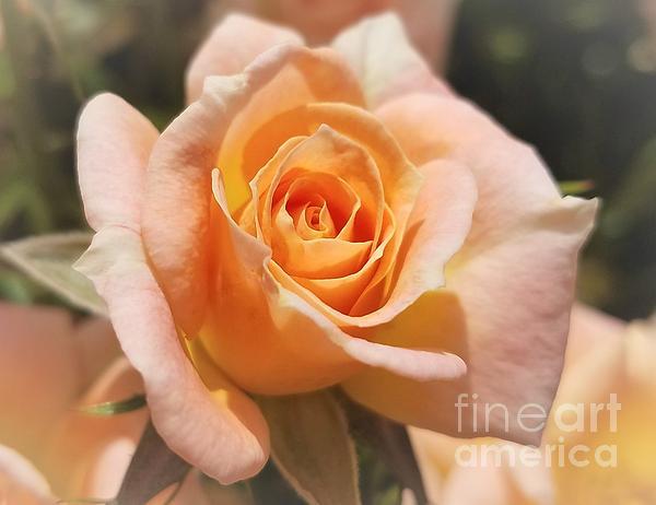 Jane Powell - A Peach Rose 3