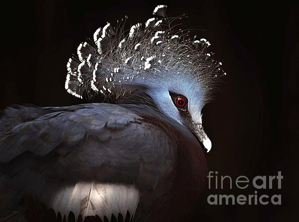 Elaine Manley - Victoria Crowned Pigeon
