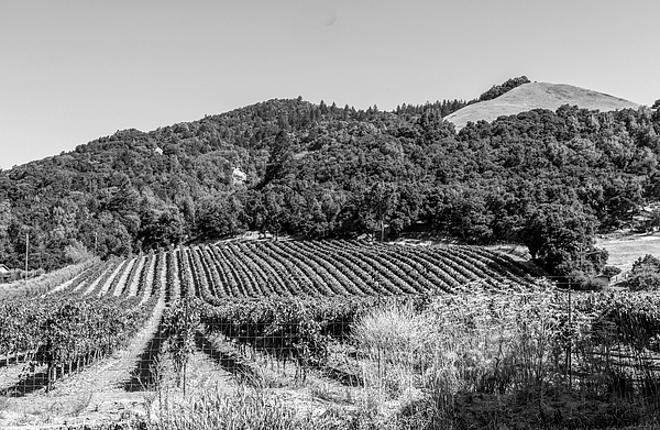 Bob Corson - Vineyard outside Santa Rosa California bw