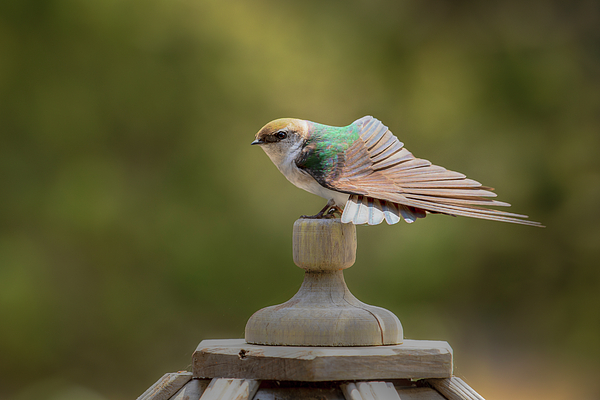 Kristina Rinell - Violet-Green Swallow 0806