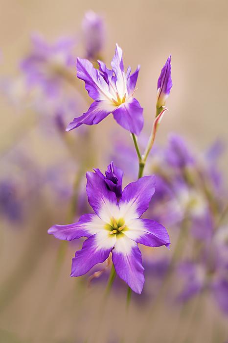 Karina Knyspel - Violet, tiny flowers in the sunshine.