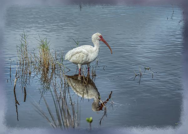 John M Bailey - Wading White Ibis