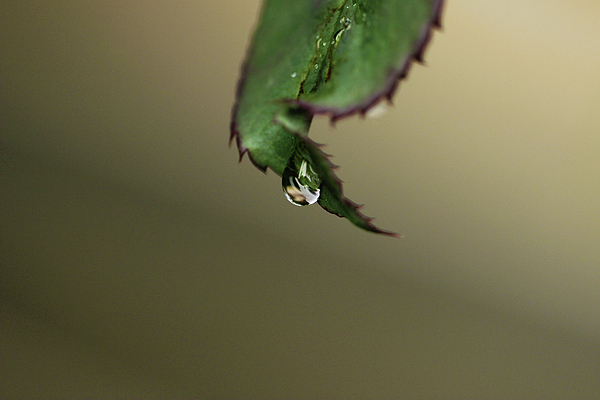 Prakash Ghai - Water Droplet Falling Down from Rose Plant Leaf
