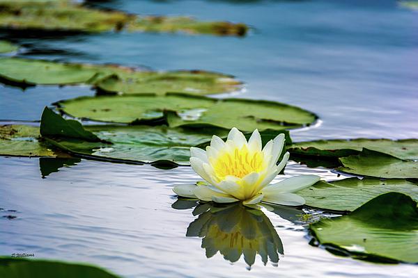 Pamela Williams - Water Lily white Yellow 3