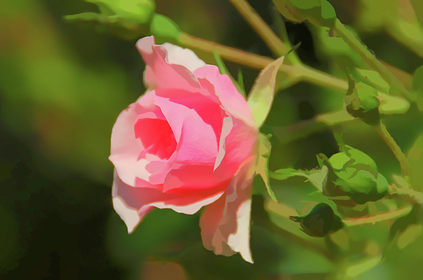 Aimee L Maher Photography and Art Visit ALMGallerydotcom - Watercolor Pink Rose Close Up