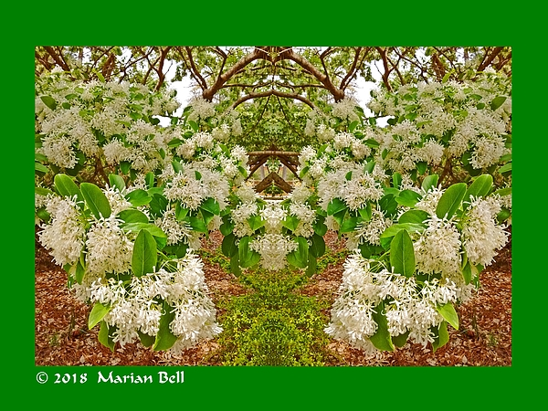 Marian Bell - Waxleaf Privet Blooms Abstract