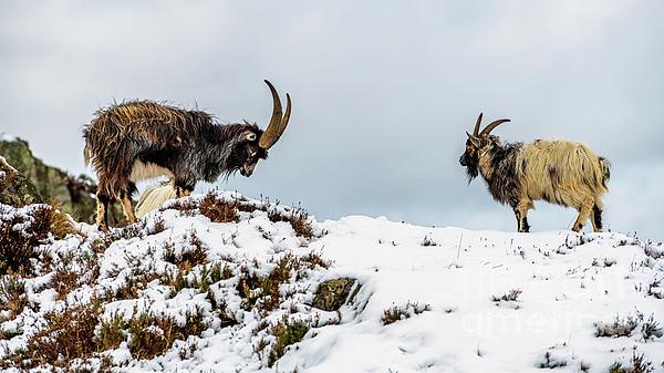 Adrian Evans - Welsh Mountain Goats