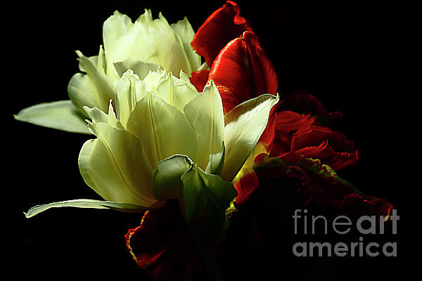Alexander Vinogradov - White And Red In Tulip Kingdom.