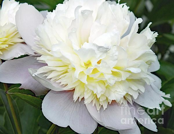 Cindy Treger - White Beauty - Festiva Maxima Double Peony