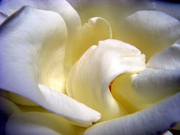 Mary Halpin - White Beauty Rose