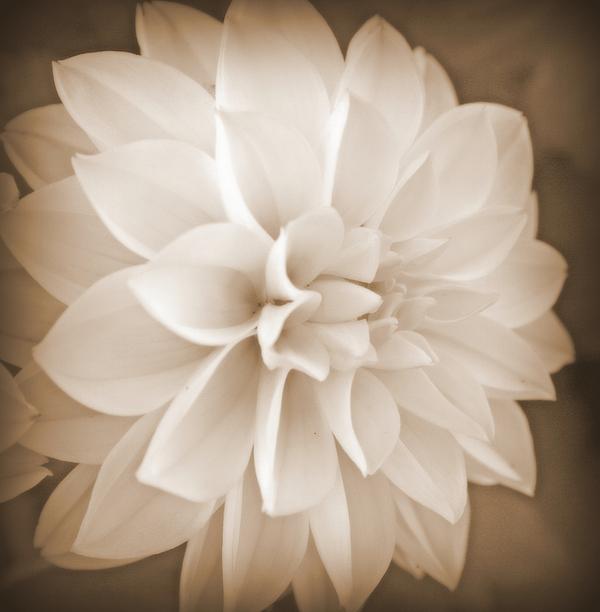 Kay Novy - White Dahlia In Sepia