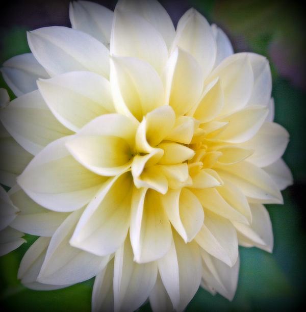 Kay Novy - White Dahlia With Yellow Center