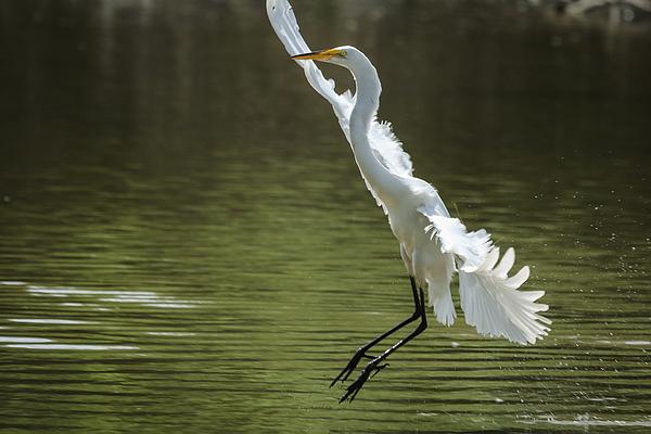 Joni Eskridge - White Egret - Grace in Motion