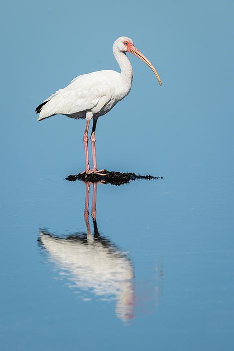 Dawn Currie - White Ibis Reflection