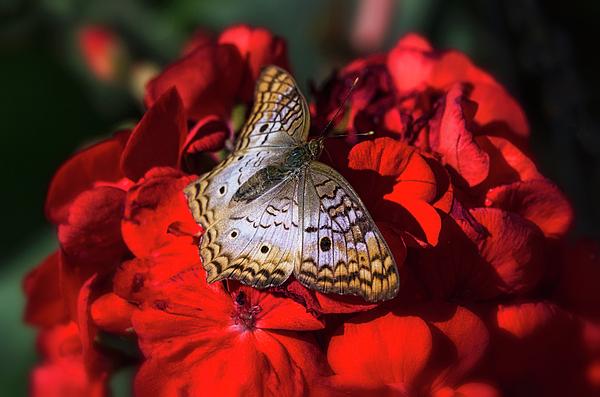 Saija Lehtonen - White Peacock Butterfly on Red Flowers