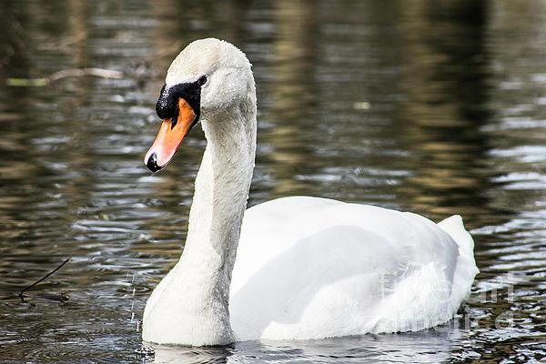 Kenneth Darren Freeman - White Swan