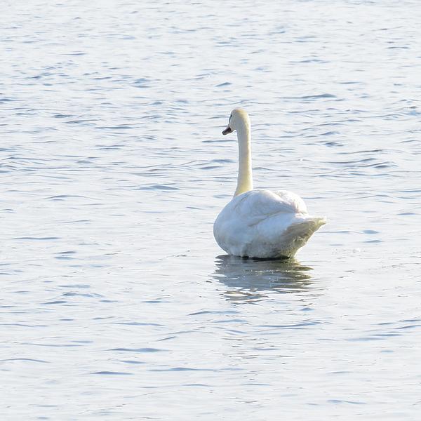 White Swan On Lake Como, Nj Photograph