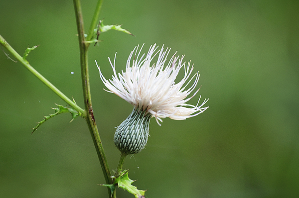 White thistle flower greeting card for sale by kenneth albin white thistle flower by kenneth albin boundary bleed area may not be visible mightylinksfo